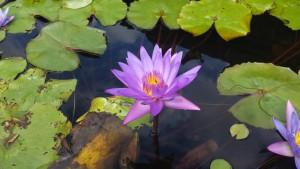 lotus bloem bali